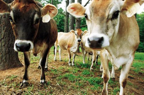 picture of chapel hill creamery cows from the original indyweek.com article