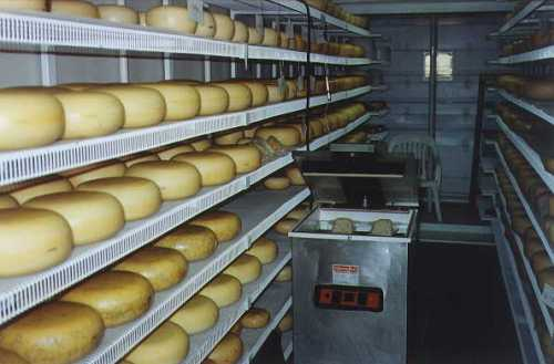 Pressed Gouda cheeses aging in refrigerated storage.