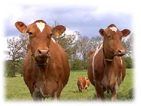 Guernsey cows, like those shown above, give milk that has predominantly A2 beta-casein.