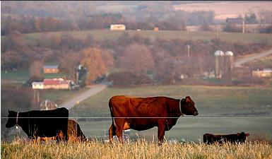 Lapp cattle grazing. Photo Robert Kirkham, Buffalo News